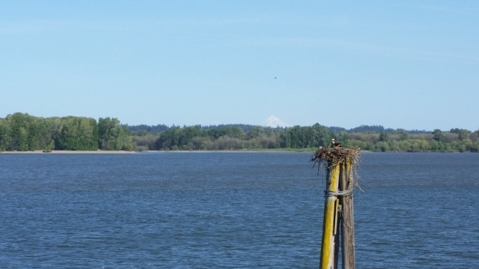 Osprey nest along the Columbia River as we walked the trail near St. Helens Oregon