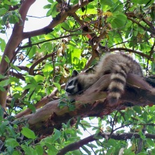 The raccoons at Blake Island are very accustomed to humans and have become quite a nuisance